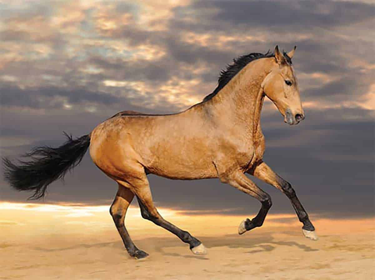 Cowgirl Spanish Barb Horses