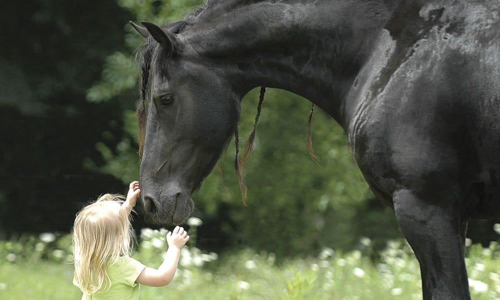 Friesians Equestrian War Horses Cowgirl Magazine