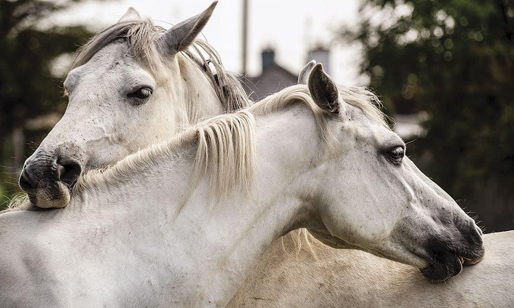 Connemara Pony Connemara Ponies Cowgirl Magazine