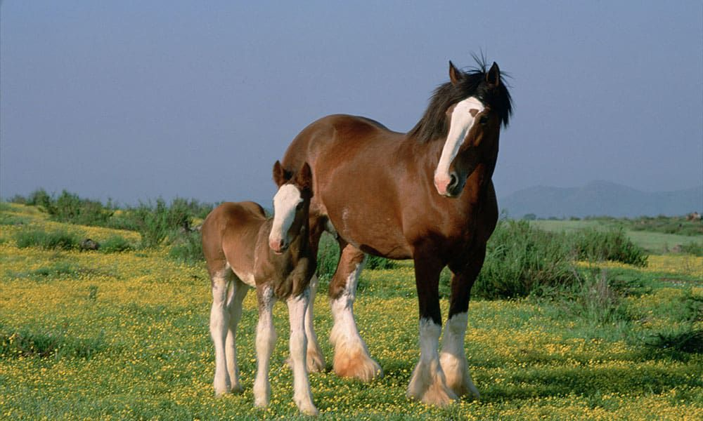 Gentle Giants Clydesdale Horses Cowgirl Magazine