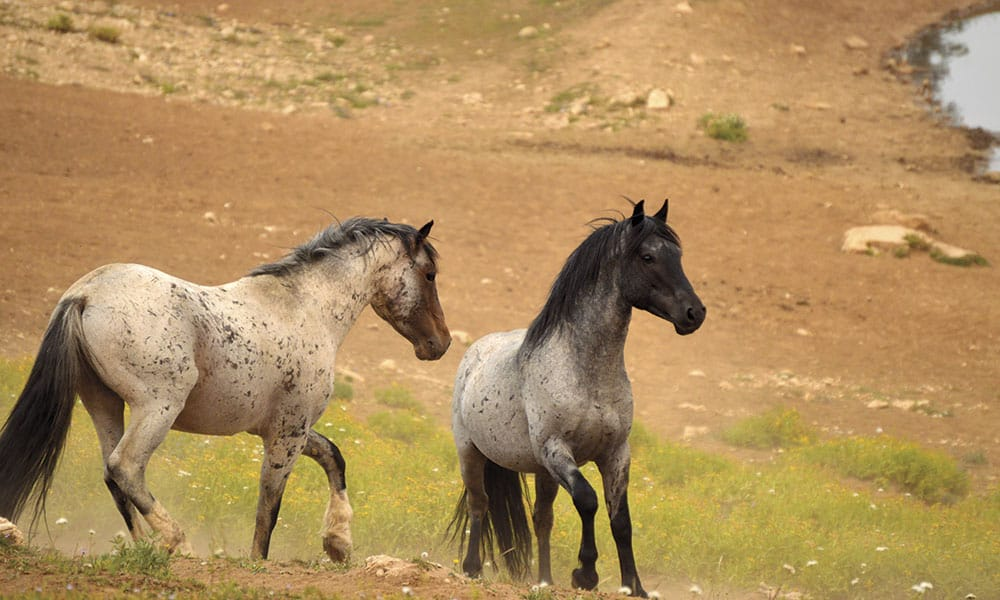 Mustangs Mustang Horses Wild Horses Cowgirl Magazine