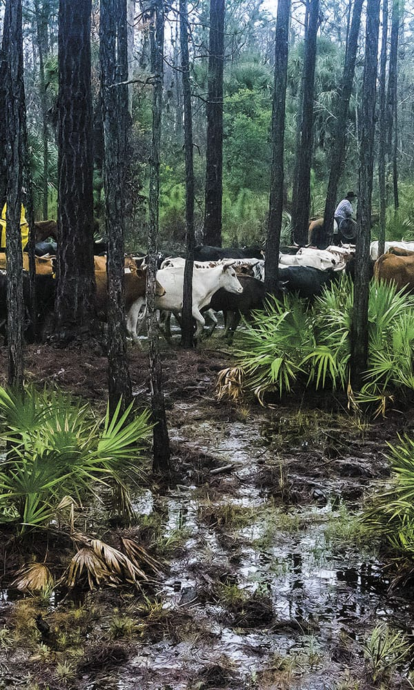 great florida cattle drive
