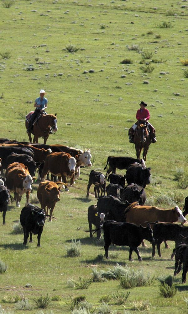 colorado-cattle-drive-Darley