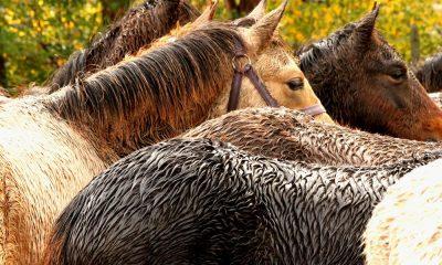 Cowgirl - Rain Rot