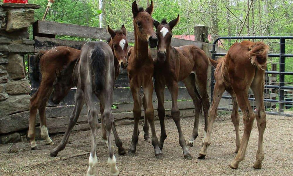 Cowgirl - Nurse Mare Foals
