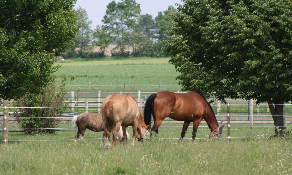 Cowgirl - Miniature Horse