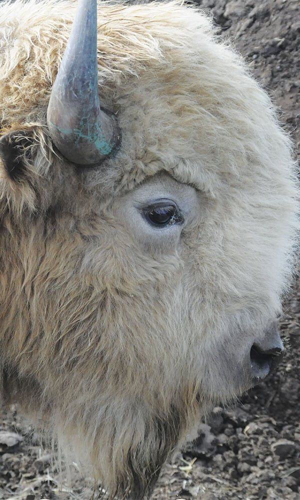 White Buffalo COWGIRL Magazine