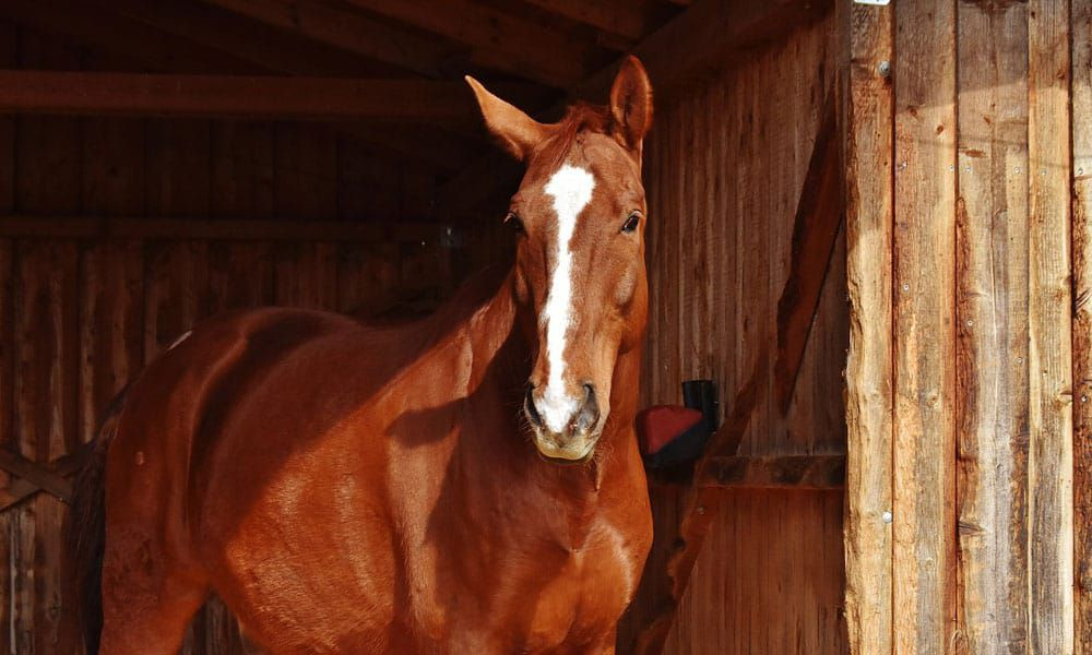Cowgirl - Crossbreeds