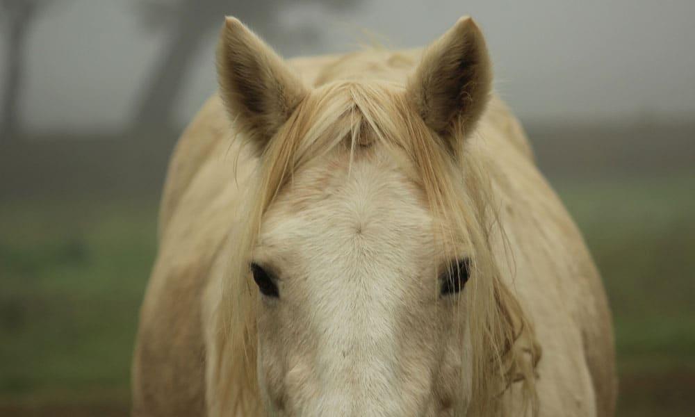 Cowgirl - Ears