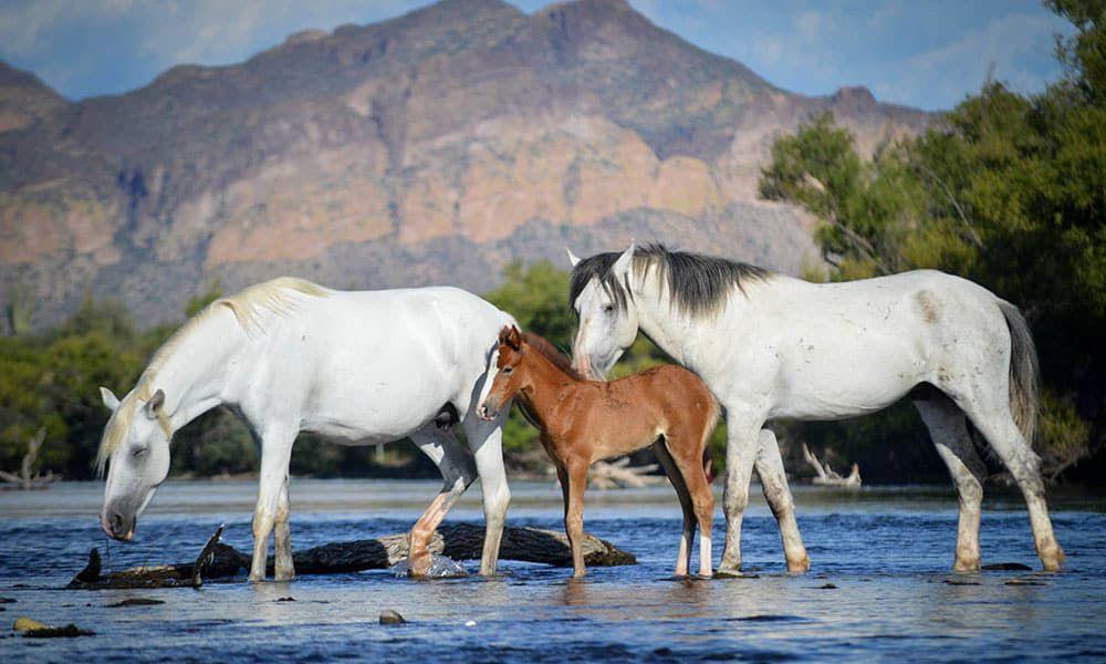 Salt River Wild Horses Cowgirl Magazine