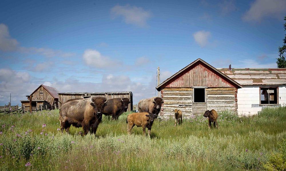 Zapata Ranch Bison Cowgirl Magazine