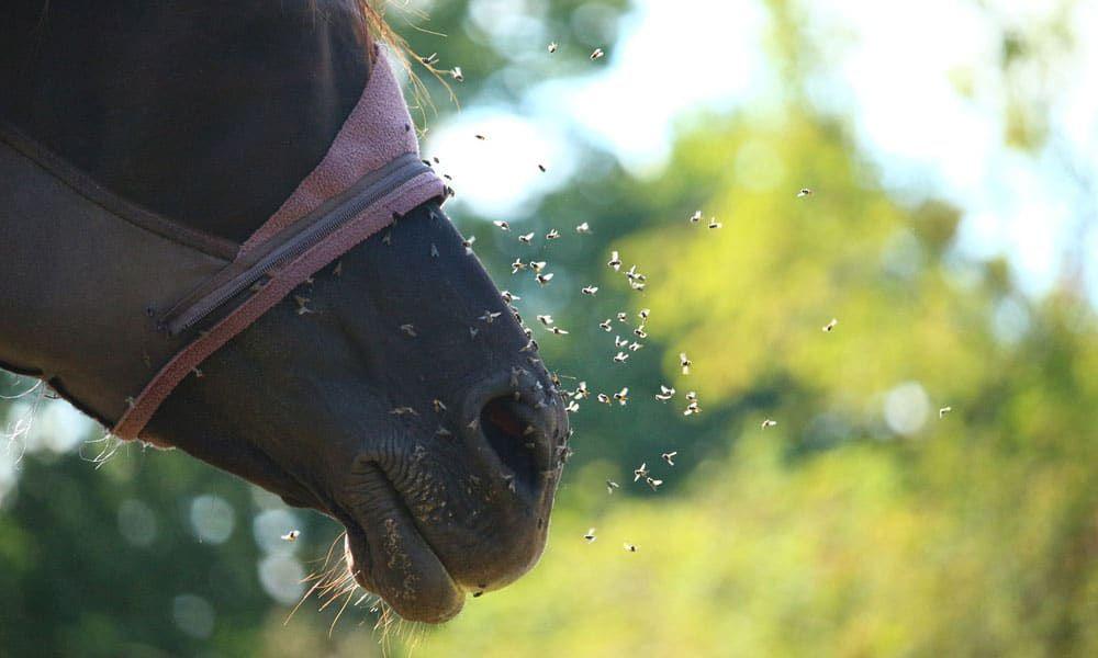 Cowgirl - Flies