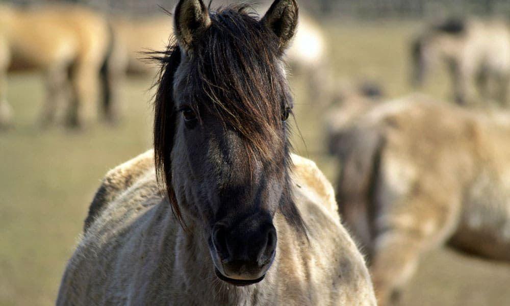 Cowgirl - Pregnant