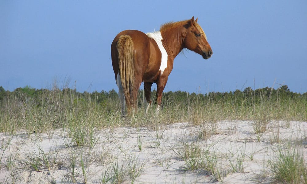 Cowgirl - Assateague