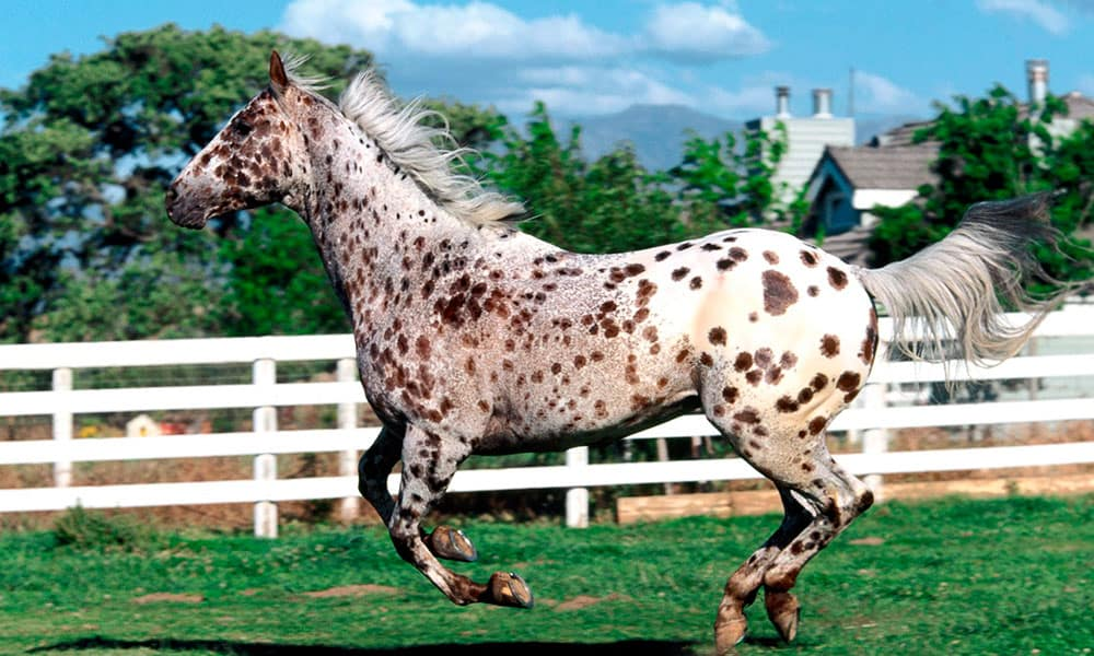 Appaloosas Cowgirl Magazine