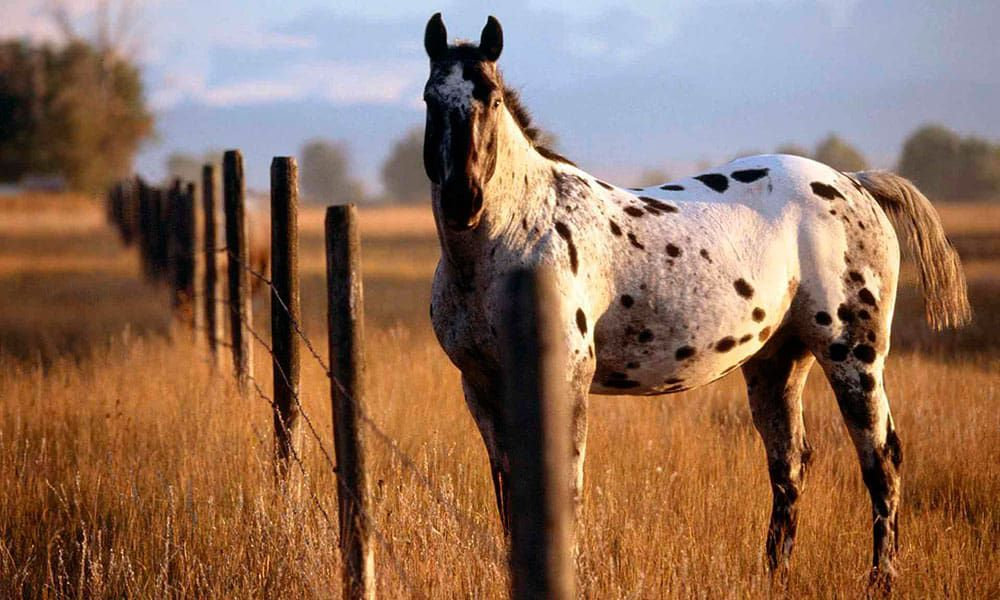 appaloosa horses cowgirl magazine