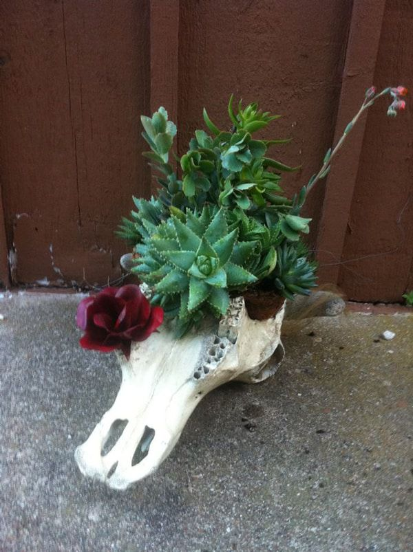 steer-skull-with-succulent