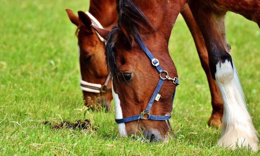 Cowgirl - deworming