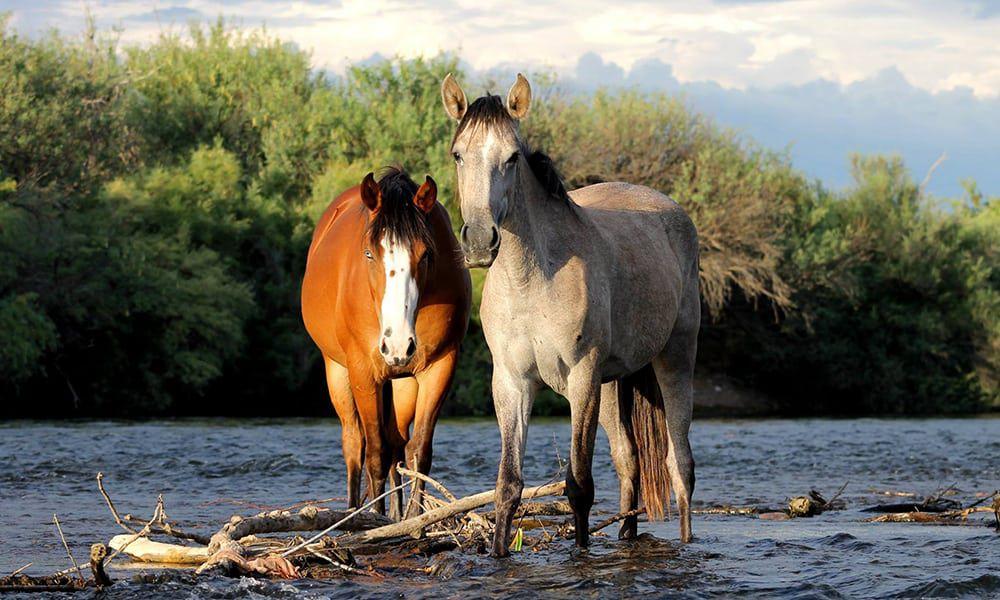 Wild Horse Etiquette Salt River Wild Horses Cowgirl Magazine