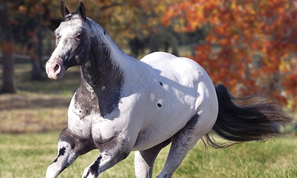 Appaloosas: The Ultimate Comeback Story | Cowgirl Magazine