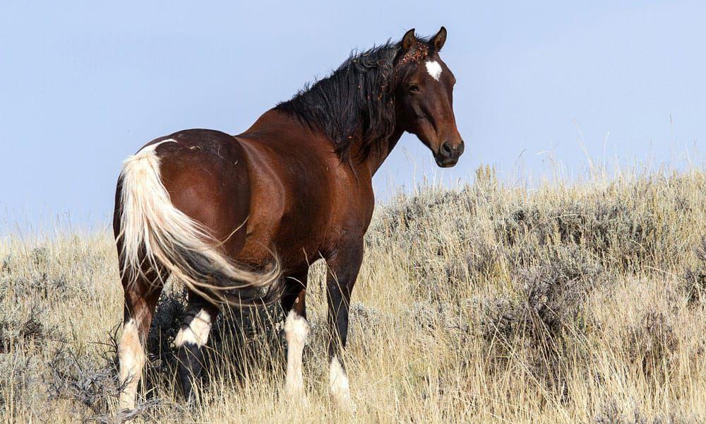 Cowgirl - Wild