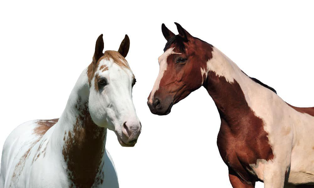 Paints Pintos Paint Horse Pinto Horse Cowgirl Magazine