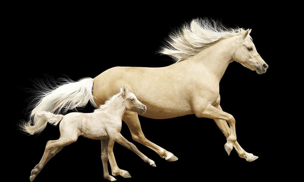 Palominos palomino horse breeds cowgirl magazine