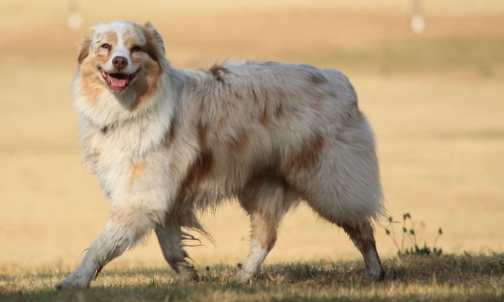 Protective Farm Dog Breeds