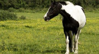 Cowgirl - Laminitis