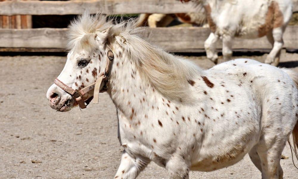 Cowgirl - Pony