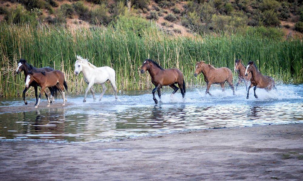 Arizona Salt River Wild Horses Cowgirl Magazine