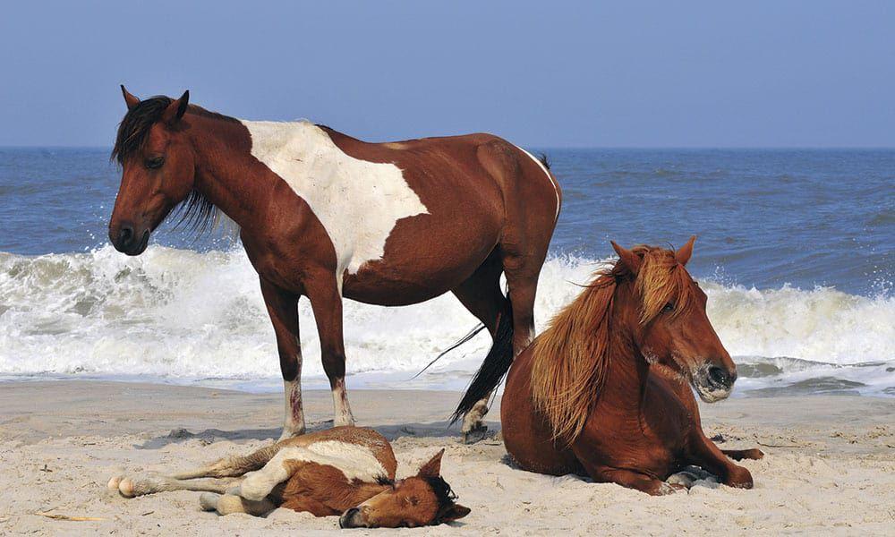 Chincoteague Ponies Saltwater Ponies Cowgirl Magazine