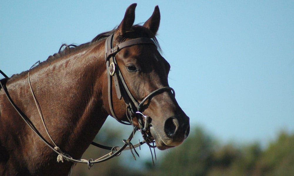 Cowgirl - Snaffle