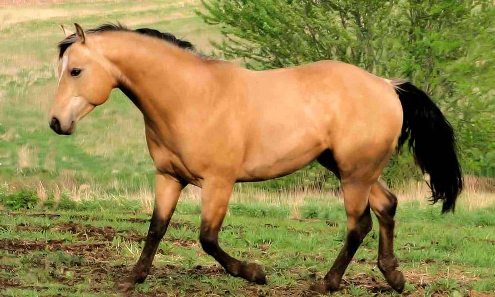 5 real life buckskin horses that look just like spirit cowgirl