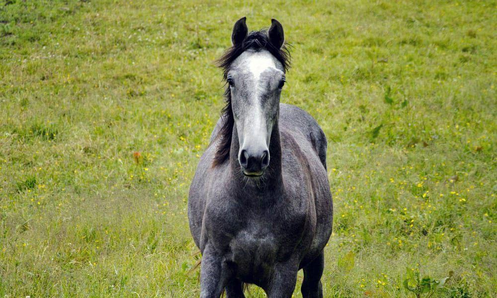 """Cowgirl Magazine"" - Gray Horses"