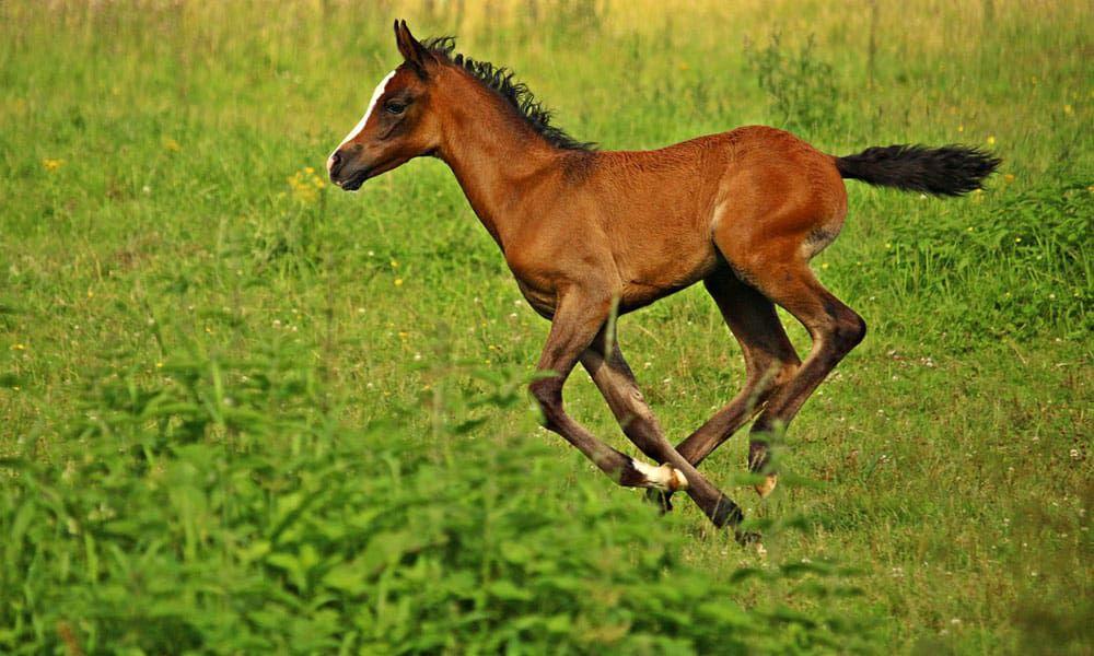 """Cowgirl Magazine"" - Love Arabians"