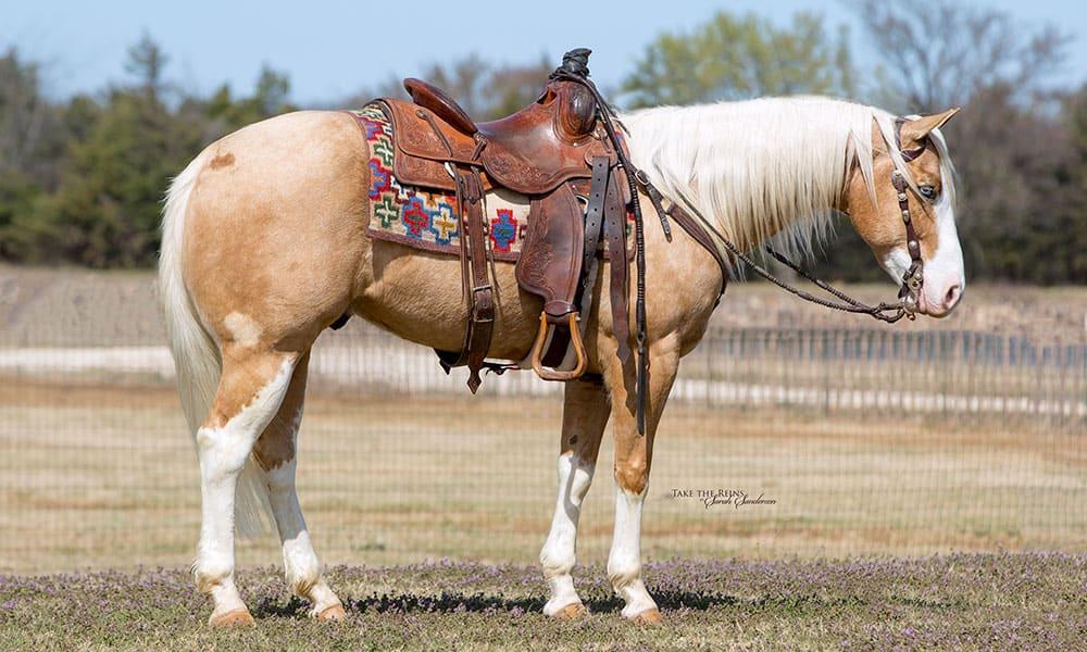 palomino-horse-white-socks-apache-bots-sots-remount-sale