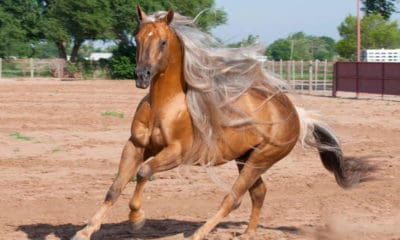 palomino-horse-hollywood-bots-sots-remount-sale