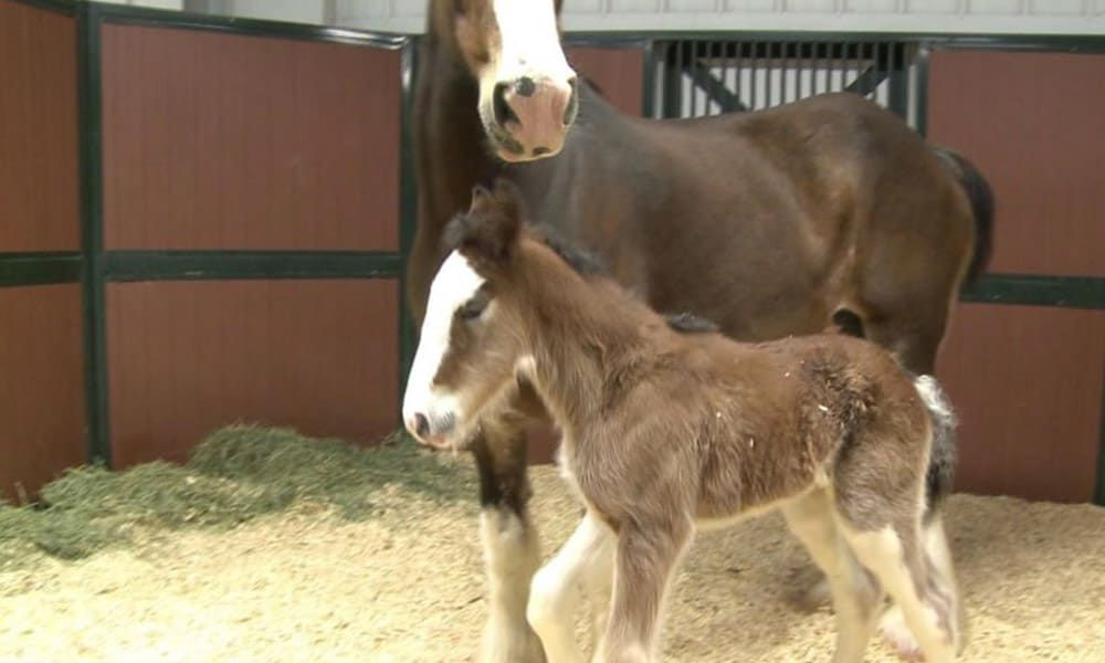 Budweiser Clydesdale Colt Cowgirl Magazine