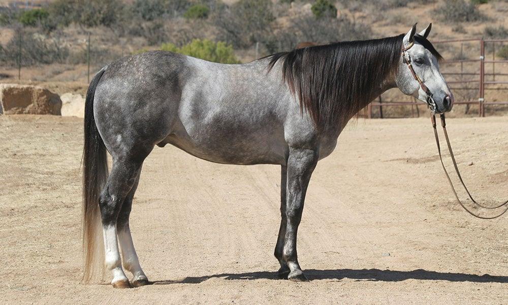 grey-horse-bots-sots-remount-sale