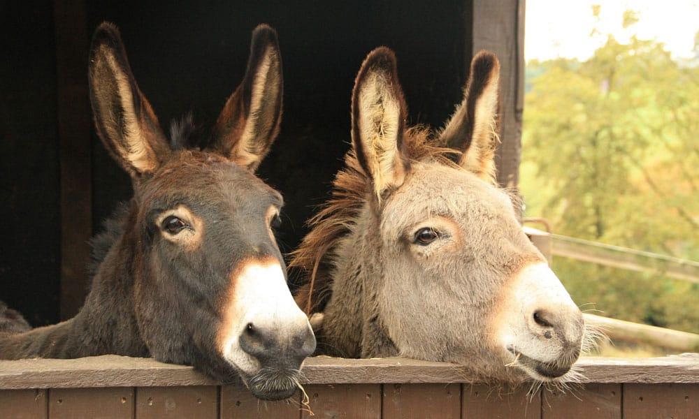 Reasons for Donkey