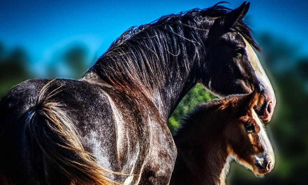 2018 World Clydesdale Show Clydesdales Cowgirl Magazine