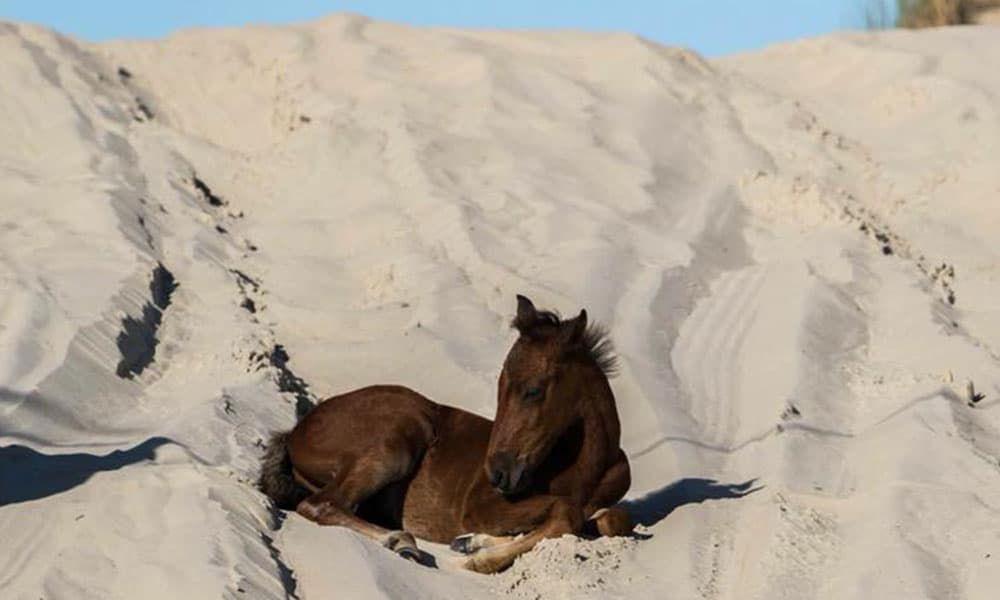 North Carolina Wild Horses Hurricane Florence Cowgirl Magazine