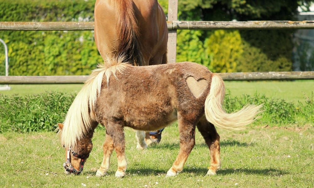 20 Fun Things To Do With A Miniature Horse Cowgirl Magazine
