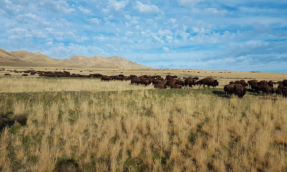 buffalo herding antelope island cowgirl magazine