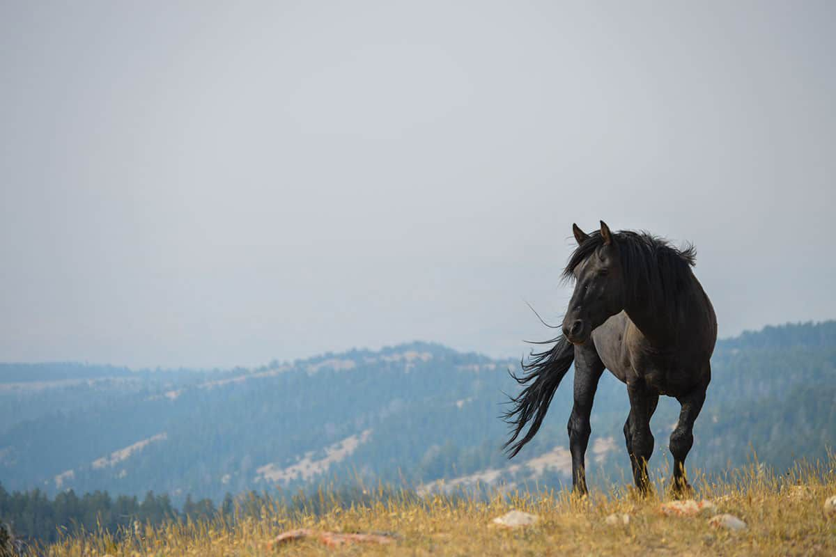 black pryor mountain horse stud cowgirl magazine