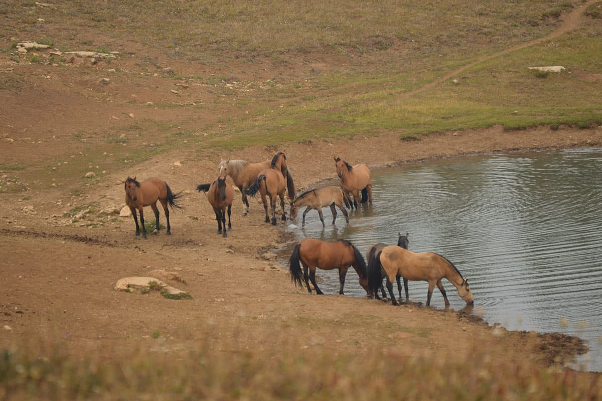 pryor horses at a watering hole cowgirl magazine