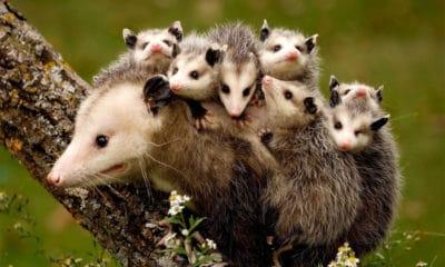 opossum cowgirl magazine
