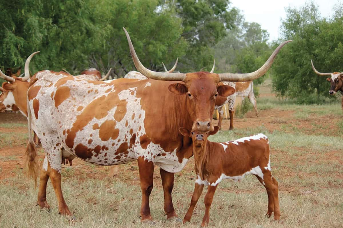 texas longhorns in grass cowgirl magazine
