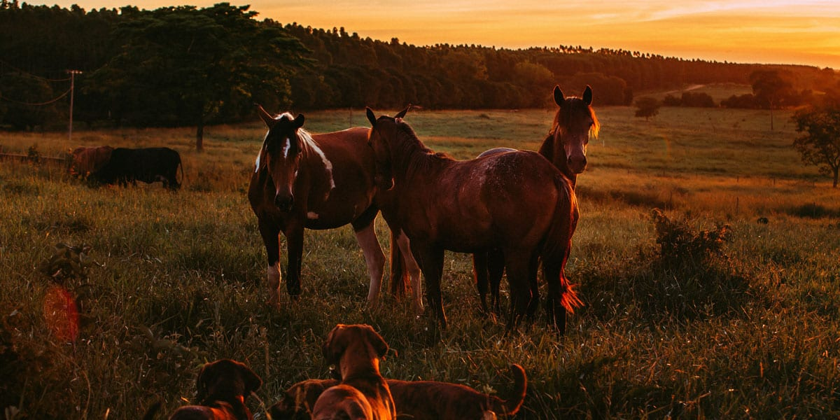 Horses dogs